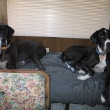 Camping with Two Great Danes